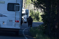 Bison/Buffalo on the road