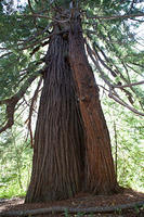 Colonial Redwood tree